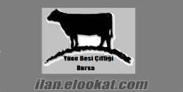 satılık inek, satılık süt inekleri, satılık, gebe düveler, satılık buzalı in