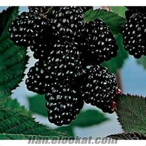 chester böğürtlen meyvesi