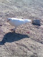 sahibinden satılık taklacı ve oynak güvercinler