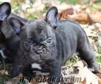 kaliteli, sağlıklı, samimi, siyah Fransız bulldog yavru.