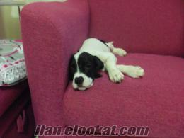 satılık çatal burun av köpeği