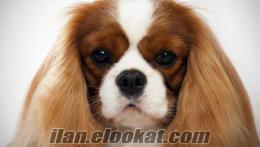 Cavalier King Charles ya da Pug cinsi köpek arıyorum