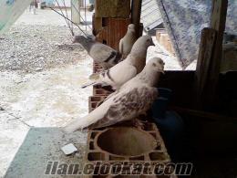 satılık taklacı güvercinler manvgat