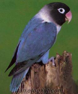 denizlide satılık sevda papaganı cennet papaganı