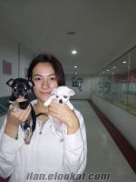 Bursa K9 garantisi ile 38 gunluk safkan Chihuahua