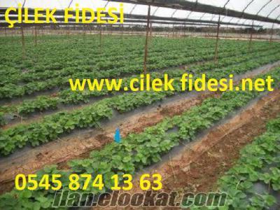 Çilek fidesi, çilek fidesi yetiştiriciği, çilek fidesi fiyatları, çilek fides