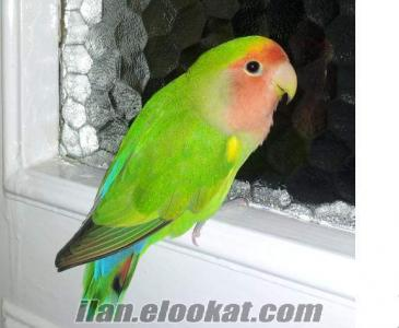 denizlide eşli cennet papaganı