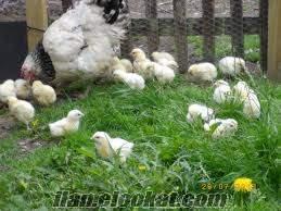 Satılık susex , Hint Horozu Her cesit tavuk bulunur