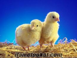 Bıldırcın kaz ördek etlik civciv hindi kuluckalık döllü yumurta