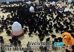 hataydan satılık yumurtalık etlik civciv yarka hindi