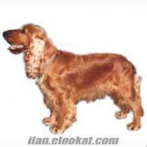 gönüllü sahipleneceğim bir kukır (cooker) cinsi köpek arıyorum.