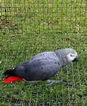 sağlıklı papağan ve taze yumurta