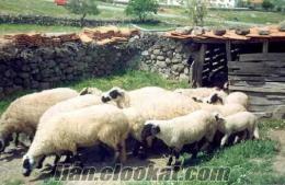 satılık koyun ve kuzular sakız ve merinos
