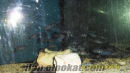 damızlık demasoni +yavru yunus+tropheus blue point+ damızlık erkek siyah vatoz