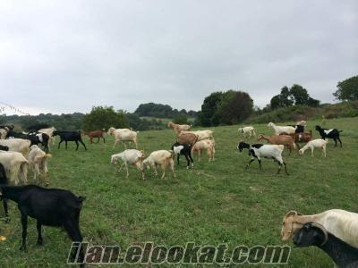 istabanbul çatalcada keçi çiftliğine deneyimli çoban aranıyor