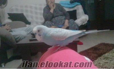 antalya çağlayan mahalesinde muhabbet kuşu kayboldu