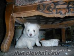 Samsun Çiftlikde satılık köpek