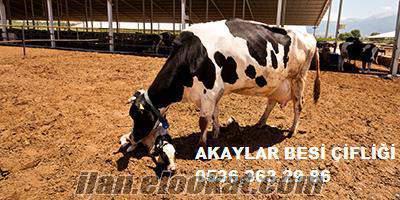 akaylar besi çifliği buzalı süt inekleri gebe düveler satılık