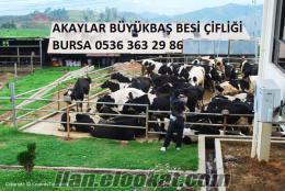Akaylar Büyükbaş Besi Çifliği Holstein Buzalı Süt İnekleri Satılık