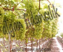 asma üzüm fidanı yetiştiriciliği algan fidan manisa