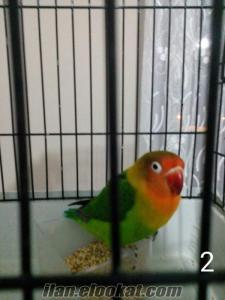 Yozgatta cennet papağanı
