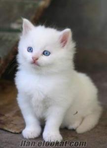 veterinerden saf ankara yavru kedi