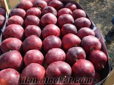 Tokatta satılık 30 ton elma