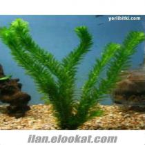 akvaryum bitkileri - perakende ve toptan