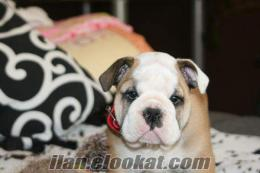 SATILIK ENGLISH BULLDOG YAVRULARI
