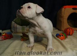İngiliz Bulldog I love all pets kalitesi ile
