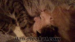 2 sarman bır tekır kedi yavrusu