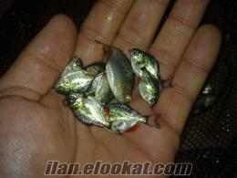 adanadan satılık etçil piranha yavrusu