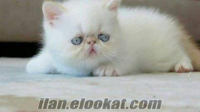 Show Kalite Exotic Shorthair