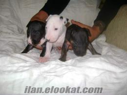 tree color miniature bull terrier