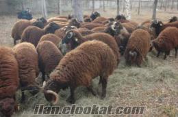Erzurumda sahibinden satılık kuzu ve dana