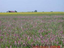 korungaq tohumu fiyatları, korunga tohumu satısı, garantilidir korunga yetiştiri