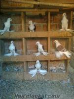 Bursada sahibinden satılık güvercin