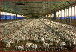 Ördek-Hindi-Etlik-Yumurtalık Civciv ve Palazları