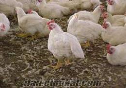 %100 döllü etlik tavuk yumurtası 65krs