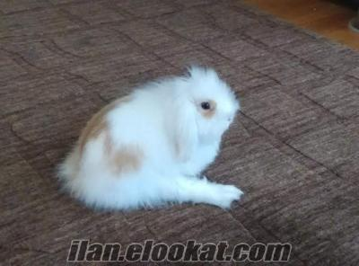 Ücretsiz 4 aylık Beyaz Hollanda Lop Tavşanı
