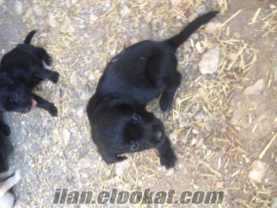 bandırmada 4 adet siyah dişi labrador yawrusu