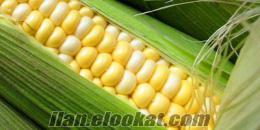 süt mısır 3 dönüm bahçe komple