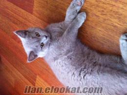 British Shorthair 4 aylık yavru kedi