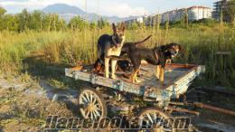 ıspartada sahibinden satılık kullanılabilir üç adet at arabası 1100 tl