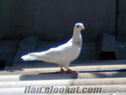 satılık güvercinler güzelbasaklar
