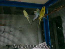 4 adet muhabbet kuşu