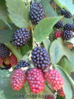 slm sındırgıda sahibinden böğürtlen meyvesi