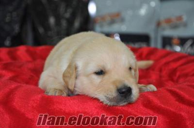 BABY FACE GOLDEN RETRİEVER YAVRUSU ANKARA