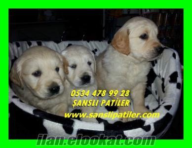 satılık golden yavruları
