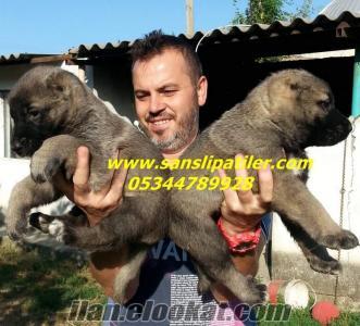 satılık sivas kangal yavruları